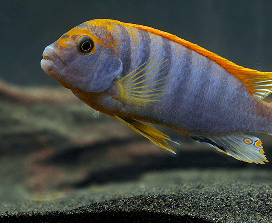 Red Top Hongi (Labidochromis sp.) - Imperial Tropicals
