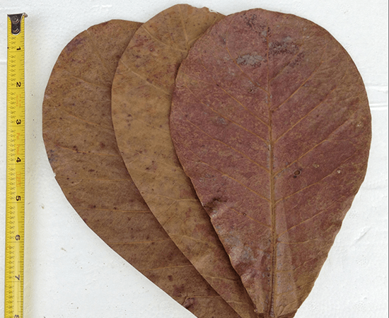 "Indian Almond Leaves - 5"" - (Terminalia catappa) - Imperial Tropicals"