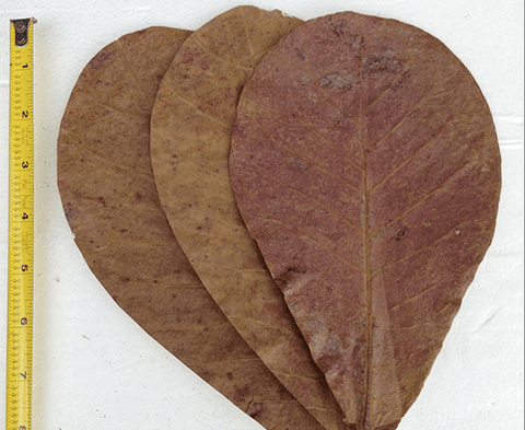 "Large Indian Almond Leaves - 8""+ - (Terminalia catappa) - Imperial Tropicals"