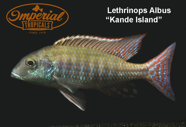 Kande Island (Lethrinops albus) - Imperial Tropicals