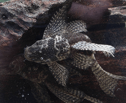 Longfin Chocolate Pleco (Ancistrus sp.) - Imperial Tropicals
