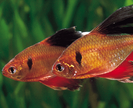 Longfin Red Minor Tetra (Hyphessobrycon eques) - Imperial Tropicals
