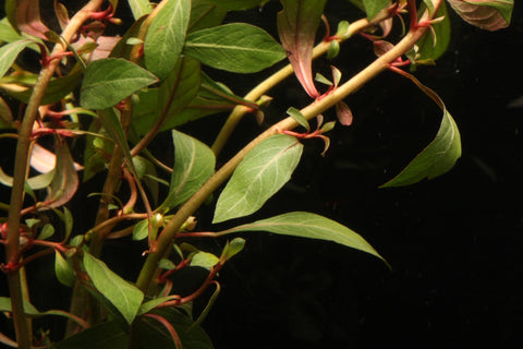 Dark Red Ludwigia - Imperial Tropicals