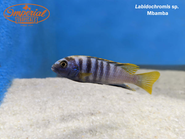 Yellow Top Mbamba (Labidochromis sp.)