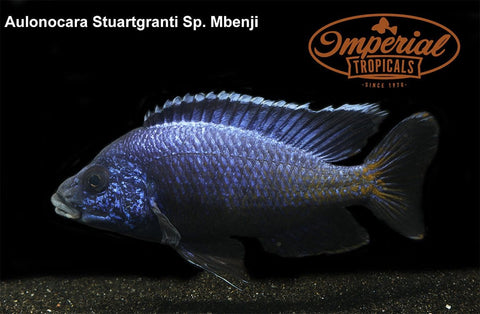 "Blue Regal ""Mbenji"" Peacock (Aulonocara koningsi) - Imperial Tropicals"