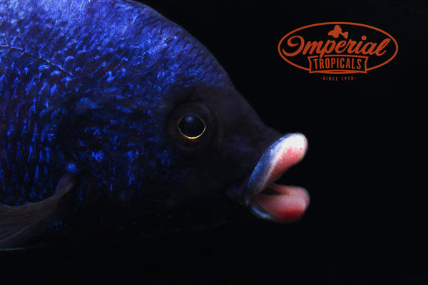 Mdoka White Lips (Placidochromis phenochilus) - Imperial Tropicals