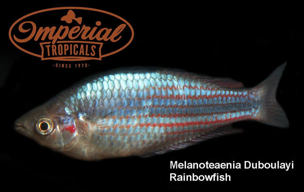 Crimson Spotted Rainbowfish (Melanotaenia duboulayi) - Imperial Tropicals