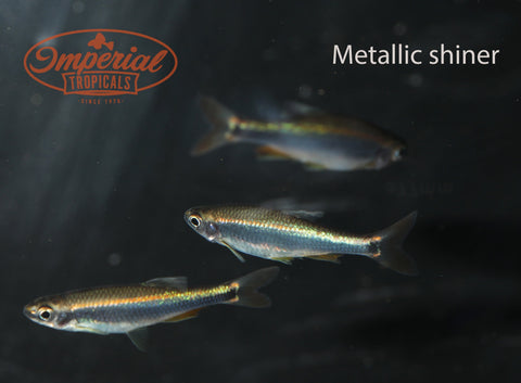 Metallic Shiner (Pteronotropis metallicus) - Imperial Tropicals