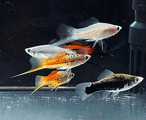 Assorted Swordtail (Xiphophorus hellerii) - Imperial Tropicals