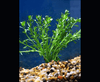 Moneywort (Bacopa monnieri) - Imperial Tropicals