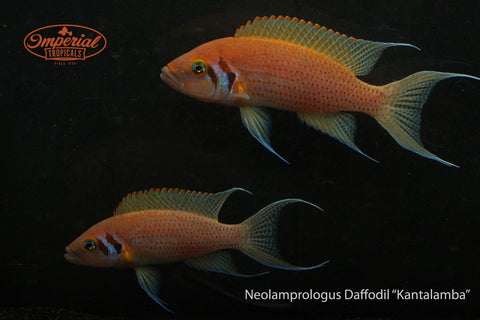 "Daffodil Cichlid (Neolamprologus pulcher ""Kantalamba"") - Imperial Tropicals"