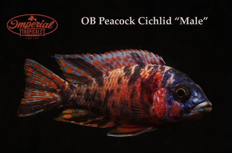 OB Peacock Cichlid Aulonocara Sp. - Imperial Tropicals
