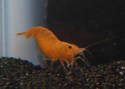 Orange Shrimp (Neocaridina heteropoda) - Imperial Tropicals