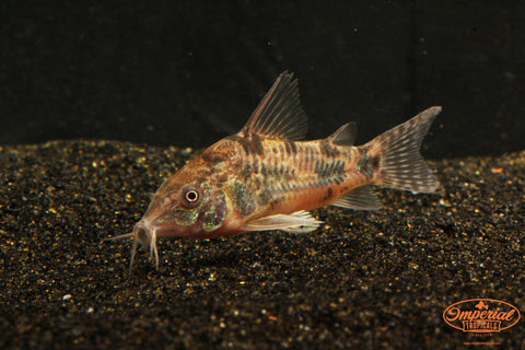 Salt and Pepper Cory (Corydoras paleatus) - Imperial Tropicals