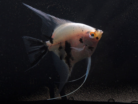 Panda Angelfish - Pterophyllum scalare - Imperial Tropicals