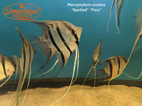 Peruvian Spotted Angelfish (Pterophyllum scalare)