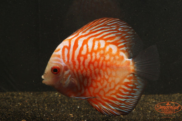 Pigeon Blood Discus - Imperial Tropicals