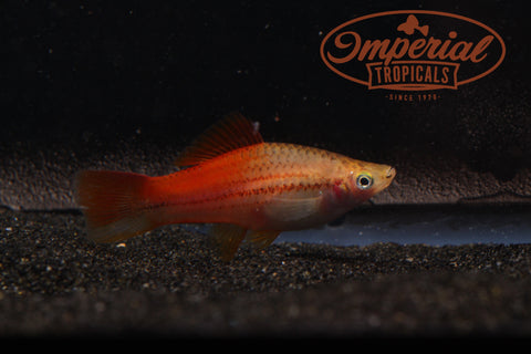 Pineapple Swordtail (Xiphophorus hellerii) - Imperial Tropicals