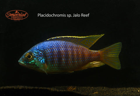 Jalo Reef (Placidochromis sp.) - Imperial Tropicals