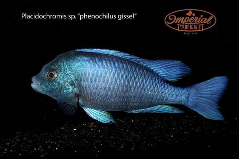 (Placidochromis sp. Phenochilus Gissel) - Imperial Tropicals