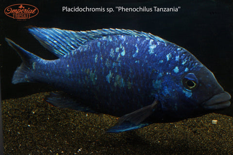 Star Sapphire (Placidochromis sp. Phenochilus Tanzania) - Imperial Tropicals