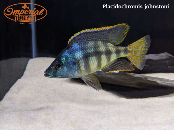 (Placidochromis johnstoni)