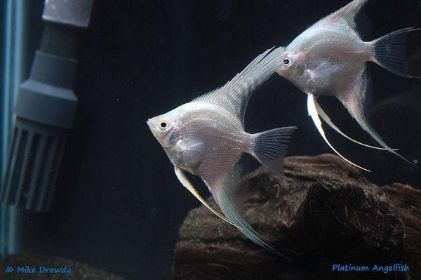 Platinum Angelfish (Pterophyllum scalare) - Imperial Tropicals