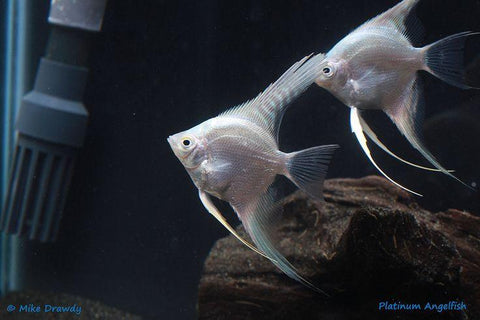 Platinum Angelfish - Pterophyllum scalare - Imperial Tropicals