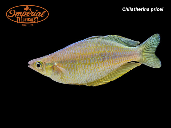Price's Rainbowfish (Chilatherina pricei)