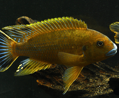 Williamsi Blue Lips (Pseudotropheus sp) - Imperial Tropicals