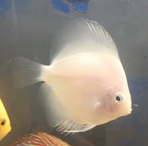 Pure White Discus