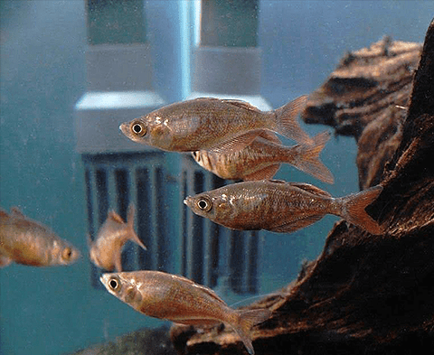 Red Irian Rainbowfish (Glossolepis incisis) - Imperial Tropicals