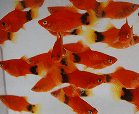 Red Mickey Mouse Platy (Xiphophorus maculatus) - Imperial Tropicals
