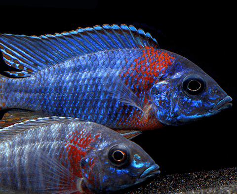 Super Colorful African Cichlid - The Dragon Blood Peacock ...