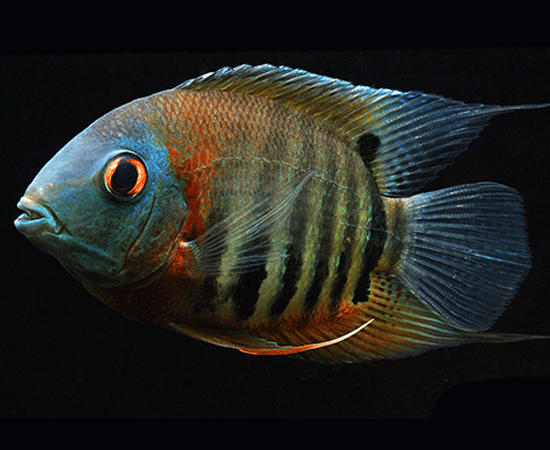 Red Shoulder Severum (Heros sp.) - Imperial Tropicals
