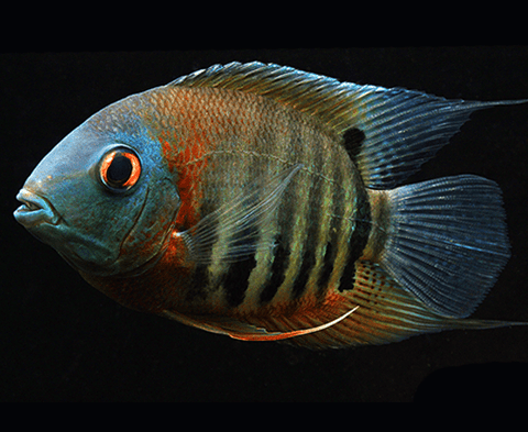 Red Shoulder Severum (Heros sp. rotkeil) - Imperial Tropicals