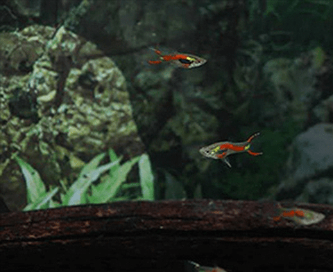 Red Tiger Endlers (Poecilia sp.) - Imperial Tropicals