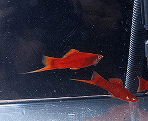 Red Velvet Swordtail (Xiphophorus hellerii) - Imperial Tropicals