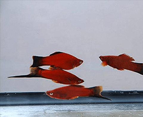 Red Velvet Wag Swordtail (Xiphophorus hellerii) - Imperial Tropicals