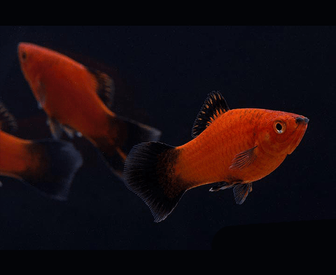 Red Wag Platy (Xiphophorus maculatus) - Imperial Tropicals