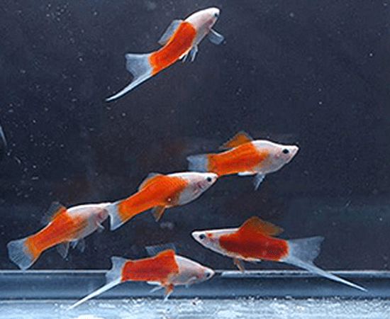 Red and White Swordtail (Xiphophorus hellerii) - Imperial Tropicals
