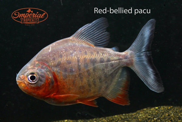 Red Bellied Pacu (Piaractus brachypomus) - Imperial Tropicals