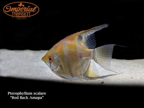 Red Back Amapa Angelfish (Pterophyllum scalare)