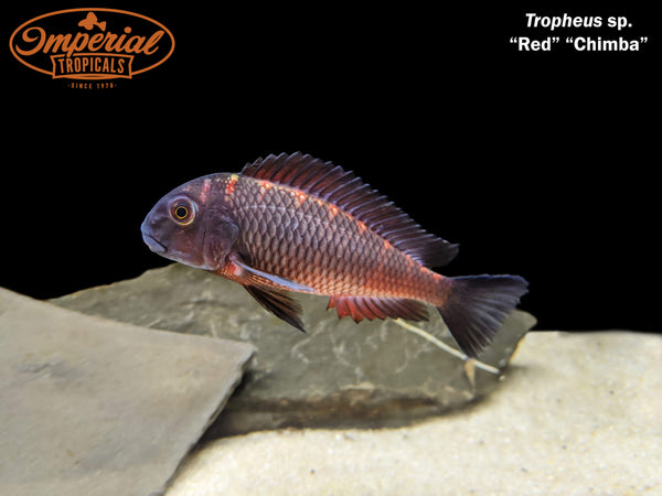 Red Chimba (Tropheus sp.)