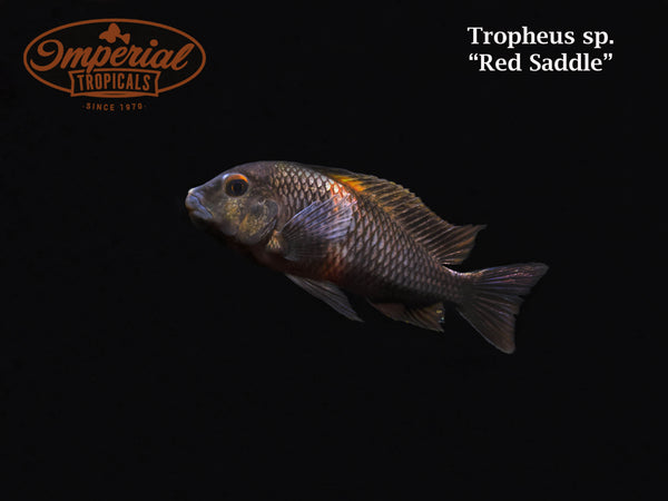 Red Saddle (Tropheus sp.)