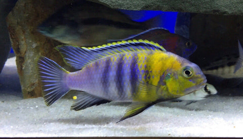Macrophthalmus Tropheops Red Cheek - Imperial Tropicals
