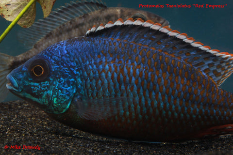 Red Empress (Protomelas Taeniolatus) - Imperial Tropicals