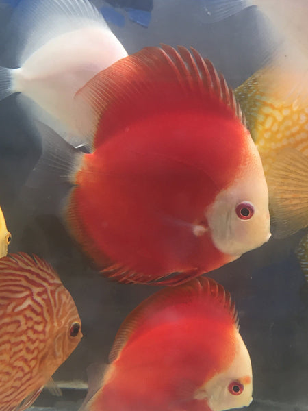 Red Melon Discus - Imperial Tropicals