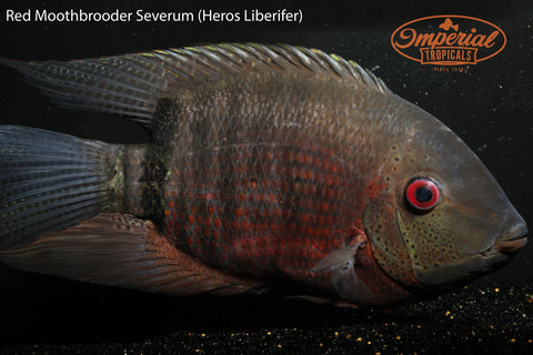 Red Mouthbrooder Severum (Heros Liberifer) - Imperial Tropicals