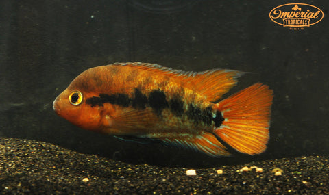 Red Rainbow Cichlid (Herotilapia multispinosus) - Imperial Tropicals